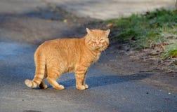在街道上的红色无家可归的猫 免版税库存照片