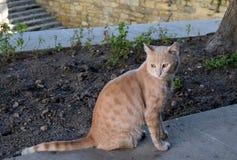 在街道上的红色猫 免版税库存照片
