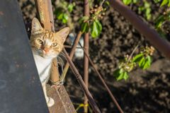 在街道上的红色猫 免版税库存图片