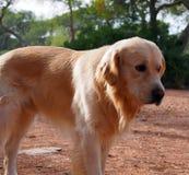 在街道上的老和孤立猎犬 库存图片