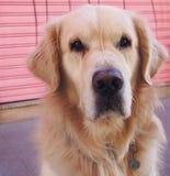 在街道上的老和孤立猎犬 免版税图库摄影