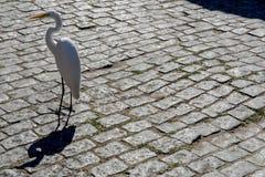 在街道上的被隔绝的大白色鸟 免版税库存图片