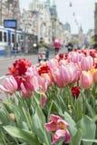 在街道上的许多桃红色和红色郁金香在阿姆斯特丹在春天有大厦的 免版税库存图片