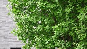 在街道上的银杏树树 影视素材
