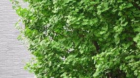 在街道上的银杏树树 股票录像