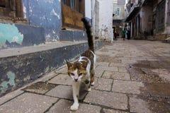 在街道上的镶边宠物猫 库存照片