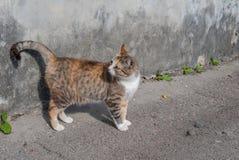 在街道上的镶边猫在混凝土墙附近,街道猫 图库摄影