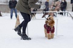 在街道上的长卷毛狗训练在冬天 免版税库存图片