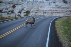 在街道上的绵羊 免版税库存照片