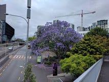 在街道上的紫色树 免版税库存照片