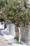 在街道上的Leander树 库存照片