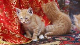 在街道上舔的无家可归的红色小猫 慢的行动 股票视频