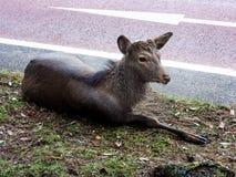 在街道旁边的鹿 免版税库存照片