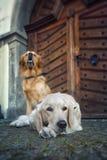 在街道的二条狗 库存图片
