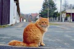 猫姜 库存图片