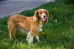 在街道的狗 免版税库存图片