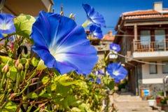 在街道的背景的蓝色大竺葵花 图库摄影