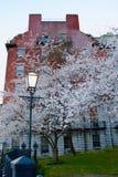 在街道的角落的布雷得佛洋梨树 免版税库存照片