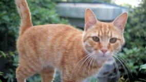 在街道的逗人喜爱的红头发人猫 股票录像