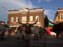 在街道的长角牛牛 库存照片