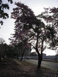 在街道视图的Tabebuia rosea在Guayana市,委内瑞拉 免版税库存图片