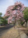 在街道视图的Tabebuia rosea在Guayana市,委内瑞拉 库存照片