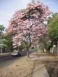 在街道视图的Tabebuia rosea在Guayana市,委内瑞拉 库存图片