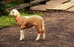 在衣物的绵羊 免版税库存照片