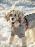 在衣裳的中国有顶饰狗在雪 免版税库存照片