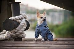 在衣裳的狗 免版税库存图片