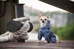 在衣裳的狗 图库摄影