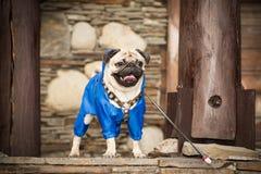 在衣裳的狗 库存照片