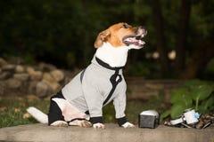 在衣裳的狗 免版税库存照片
