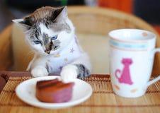 在衣裳的白色蓝眼睛的猫吃蛋糕和喝咖啡的 他坐在桌上并且吃象一个人的早餐 免版税库存图片