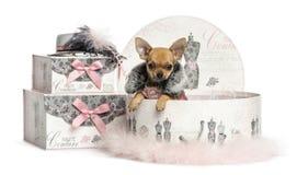 在衣裳箱子的奇瓦瓦狗小狗, 3个月,被隔绝 库存图片