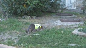 在衣领和一件反射性背心的家养的灰色猫走在街道上的 股票视频