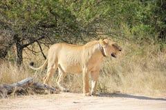 在衣领附近她雌狮脖子跟踪 图库摄影