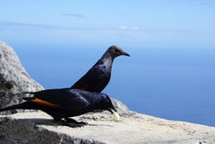 在表山的红翼的椋鸟在开普敦,南非 库存照片