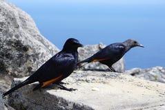在表山的红翼的椋鸟在开普敦,南非 免版税图库摄影