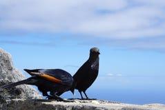 在表山的红翼的椋鸟在开普敦,南非 库存图片