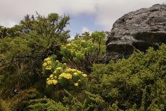 在表山的黄色花在开普敦附近 库存照片