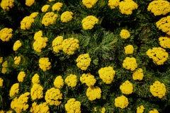 在表山的黄色花在开普敦附近 免版税图库摄影
