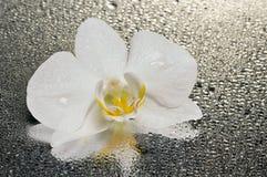 在表面湿白色的花兰花 库存照片