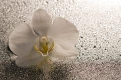 在表面湿白色的花兰花 库存图片