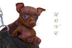 在袋子的两只小狗 库存图片