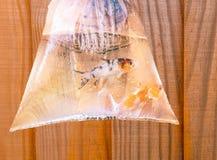 在袋子的两条小koi鲤鱼鱼 库存图片