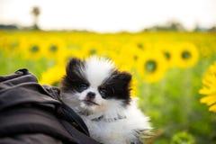 在袋子的小狗选址在向日葵领域 库存照片