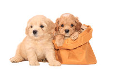 在袋子的长卷毛狗小狗 免版税库存图片