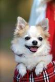 在袋子里面的逗人喜爱的奇瓦瓦狗狗宠物的 免版税图库摄影