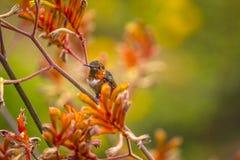 在袋鼠爪子的红褐色蜂鸟 库存照片